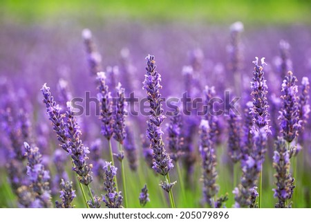 close up of lavender flower