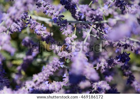 Close up of Lavender Flowers in a field outside
