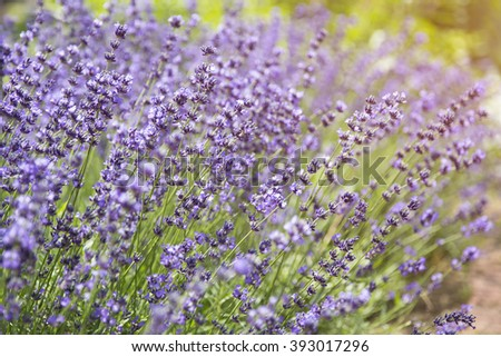 close up of lavender Flowers in the garden - stock photo