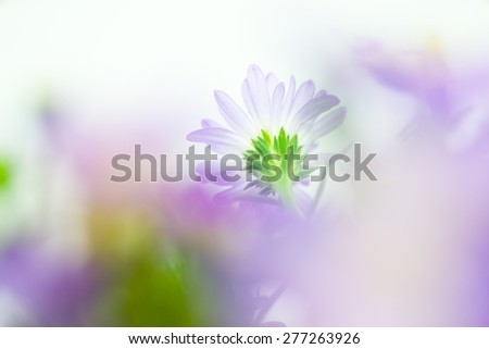 Close up of light purple daisy in soft style. - stock photo