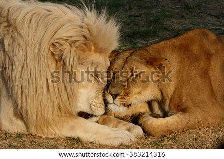 Close-up of lion couple (male and female) sleeping next to each other