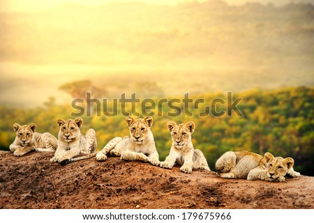Close up of lion cubs laying together waiting upon mother. - stock photo