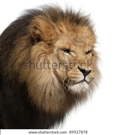 Close-up of lion, Panthera leo, 8 years old, in front of white background - stock photo