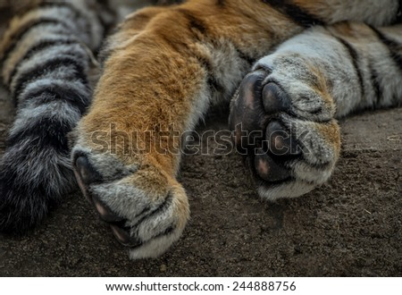Close up of Lion Paws and tail - stock photo