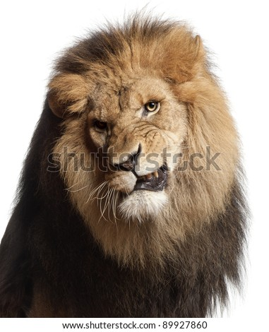 Close-up of lion snarling, Panthera leo, 8 years old, in front of white background - stock photo