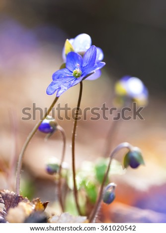 Close up of Liverworts flowers blooming in springtime european forest. Blue flowers close up.