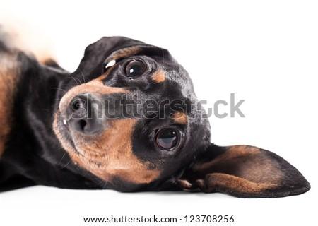 Close-up of lying Dachshund on white background - stock photo