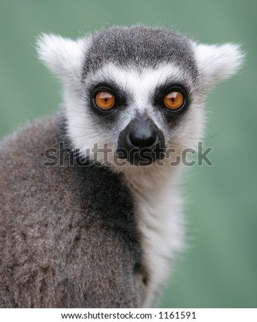 Close up of Madagascan Ring Tailed Lemur with Defocused Background, Staring Straight to Camera with Big Orange Eyes