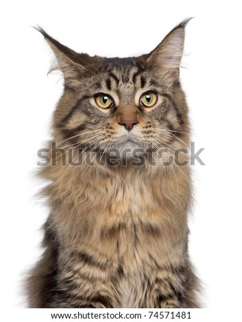 Close-up of Maine Coon cat, 7 months old, in front of white background - stock photo