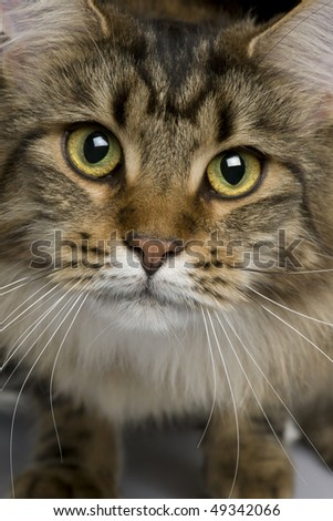 Close-up of Maine coon, 1 year old - stock photo