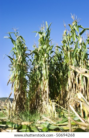 Close up of maize field ready for harvest - stock photo