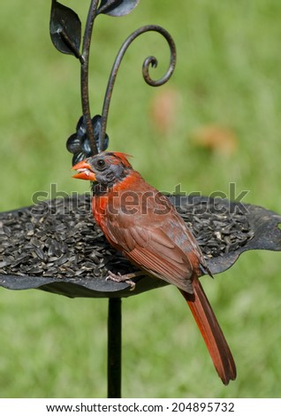 Close up of male cardinal feeding on sunflower seeds - stock photo