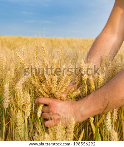 Close up of male hand holding bunch of wheat - stock photo