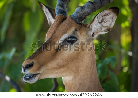 Close-up of male impala with mouth open