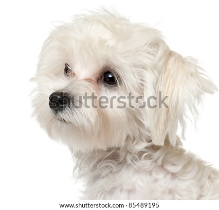 Close-up of Maltese puppy, 6 months old, in front of white background - stock photo