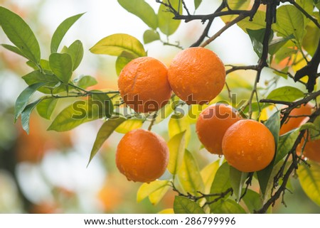 Close up of mandarin tree branch during harvest in Spain - stock photo