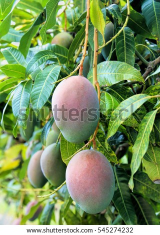 close up of mango fruit on a mango tree