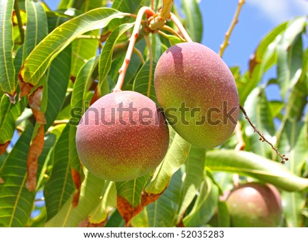 Close-up of mangoes on the branch of a tree - stock photo