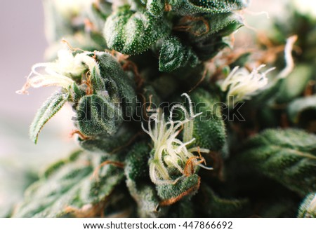 close-up of marijuana, hemp, cannabis, Indica and Sativa mix,