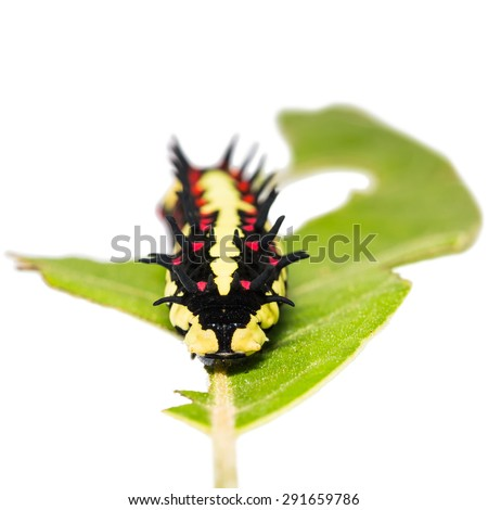 Close up of mature Common Mime (Papilio clytia) caterpillar on its host plant leaf, focusing on its face, isolated on white background - stock photo