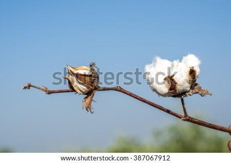 Close up of matured cotton flower and bud. - stock photo