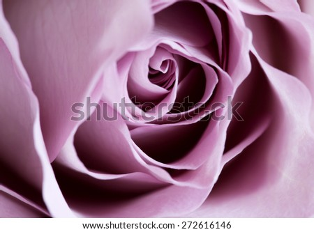 close up of Memory rose - stock photo