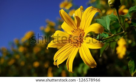 Close Up of Mexican Sunflower, Mexican Sunflower Weed Field, Mae Hong Son, Thailand. - stock photo