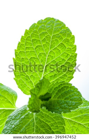 Close up of mint leaves sprout isolated on white background
