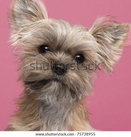 Close-up of Mixed-breed dog, 7 months old, in front of pink background - stock photo