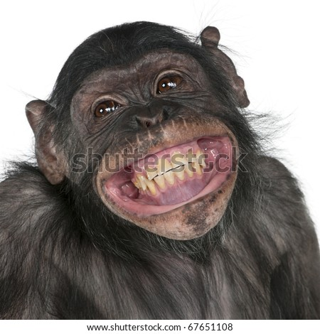 Close-up of Mixed-Breed monkey between Chimpanzee and Bonobo smiling, 8 years old - stock photo