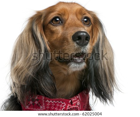 Close-up of Mixed-breed, 3 years old, standing in front of white background - stock photo