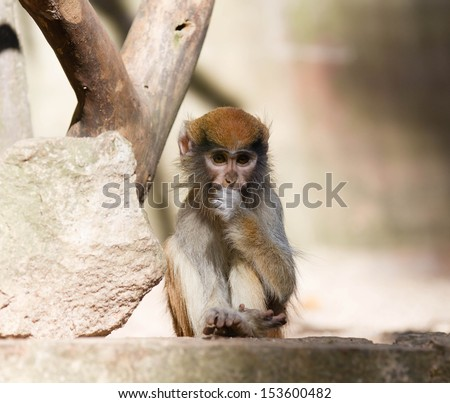 close up of monkey - stock photo