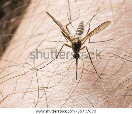 close-up of mosquito on hairy skin - stock photo