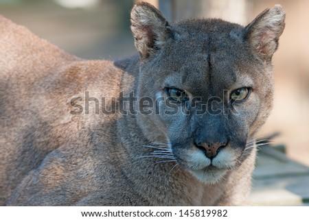 Mountain lion face close up - photo#39