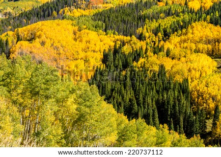 Close up of mountain slopes filled with changing yellow and green Aspen trees and dark green pine trees on sunny fall morning - stock photo