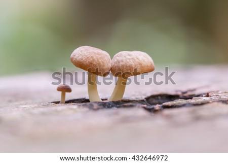 Close-Up of mushroom / A group of mushrooms toadstools , wild forest fungi , Small fungi , Fungi - stock photo