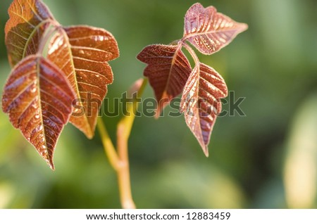 Close-up of new poison ivy leaves at sunrise. - stock photo