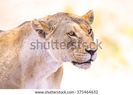 Close up of one large wild lioness in Africa - stock photo