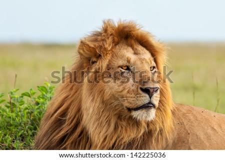 Close up of one of the most beautiful lions in Masai Mara, Kenya - stock photo