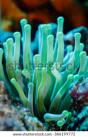 Close-up of open, green tentacles strait up, sea anemone, anthozoa actinaria, on the coral reef