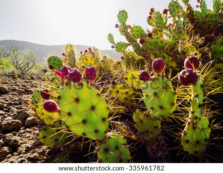 Close-up of Opuntia ficus-indica is a species of cactus. Tenerife, Canary Islands. Spain - stock photo