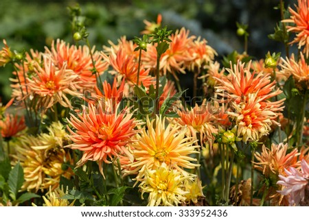 Close up of orange and yellow  dahlia flowers in garden - stock photo