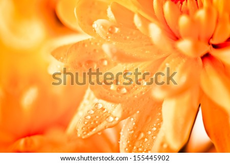 Close up of orange flower aster, daisy  - stock photo