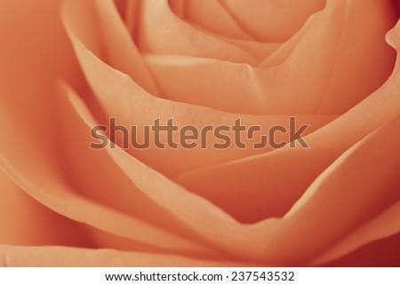 close up of orange rose petals - stock photo