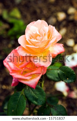close-up of orange roses with water drops (shallow DOF) - stock photo