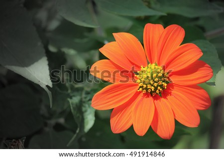 Close up of Orange Sun Flower with Green leaf Background