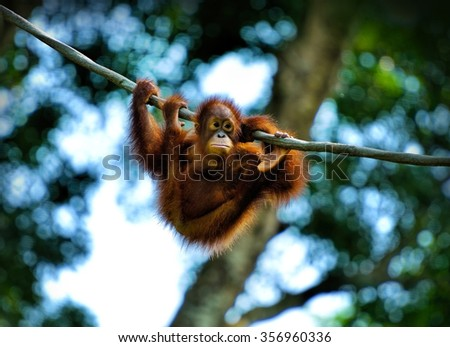 Close up of orangutan swinging in the park, selective focus. - stock photo