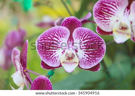 Close-up of orchid phalaenopsis. Bouquet of flowers orchids. - stock photo