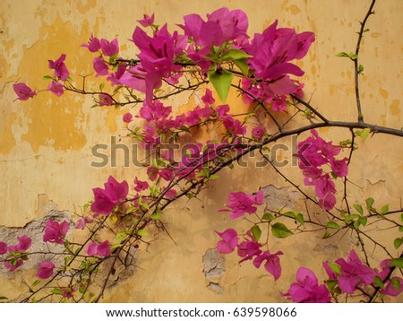 Close up of ornamental,magenta-coloured paper flower growing against a sepia-coloured wall at Wat Sisaket in Vientiane, Laos
