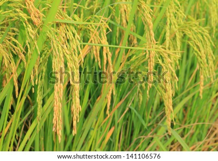 Close up of paddy rice - stock photo